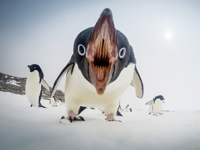 penguin likes getting his photograph taken as was made clear by thisCute Adelie Penguin